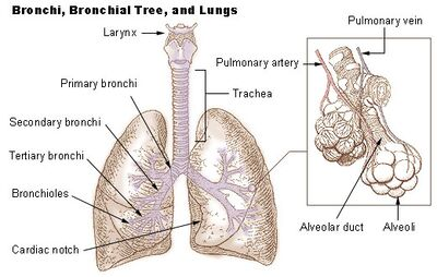 a description of bronchitis as the inflammation of the bronchi Bronchitis description bronchitis is an inflammation of the trachea, bronchi and bronchioles resulting from a respiratory tract infection it is generally self-limited with complete healing and full return of function.