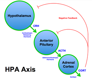 HPA Axis Diagram (Brian M Sweis 2012).png