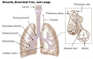 Lung Anatomy - Physiopedia
