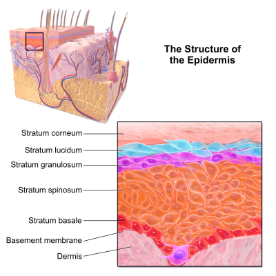 Skin layers effected by the three primary forms of EB.