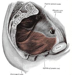 Pelvic Floor Anatomy Physiopedia