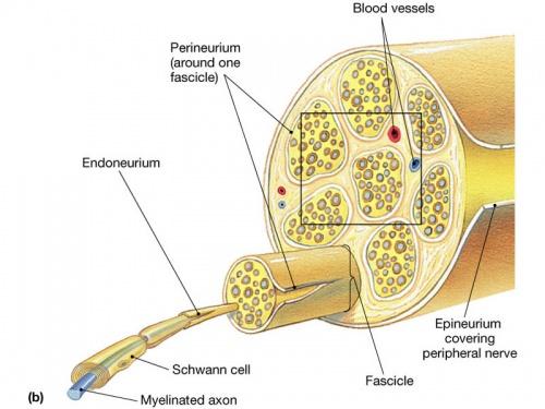 Anatomy of the nerves