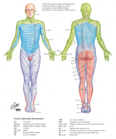 lumbar radiculopathy - physiopedia, Muscles