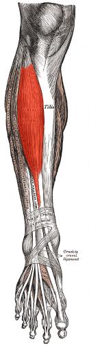 tibialis anterior - physiopedia, Human Body