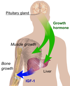 Endocrine growth regulation.png
