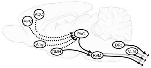 where anterior cingulate cortex (ACC), amygdala (AMY), dorsomedial nucleus of the hypothalamus (DMH), medial prefrontal cortex (MPC), Periaqueductal grey(PAG) and Rostroventromedial medulla ( RVM)