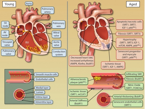 cardiovascular considerations in the older patient