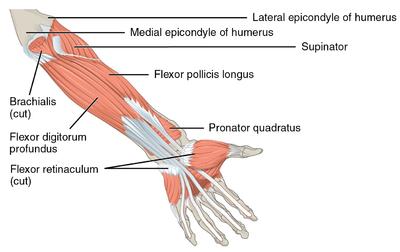 Medial Epicondyle Tendinopathy - Physiopedia
