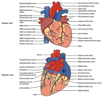 The Heart surface view.jpg