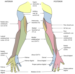 Radial nerve Physiopedia