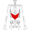Serratus posterior inferior muscle back2.png