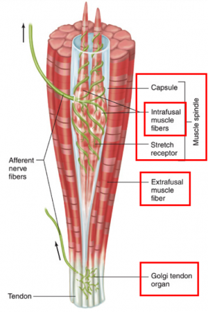 Muscle Spindles Physiopedia
