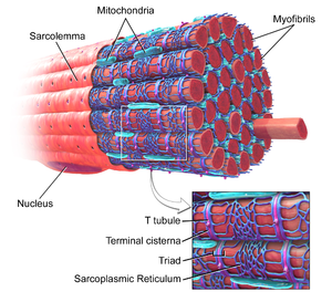 Sarcolema SkeletalMuscle.png