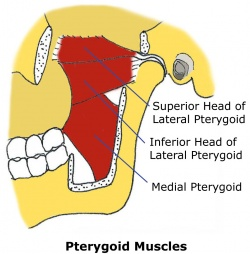 Tmj Anatomy Physiopedia