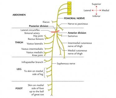 Femoral Nerve - Physiopedia