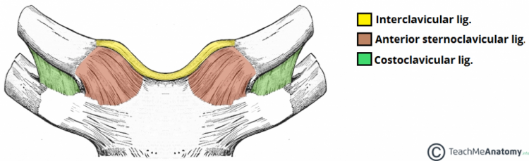 Ligaments-of-the-Sternoclavicular-Joint-1024x312.png