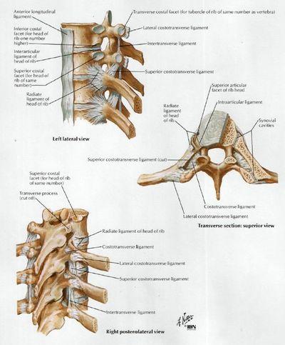 Costovertebral Joints Physiopedia Intervertebral discs (or intervertebral fibrocartilage) lie between adjacent vertebrae in the spine. costovertebral joints physiopedia