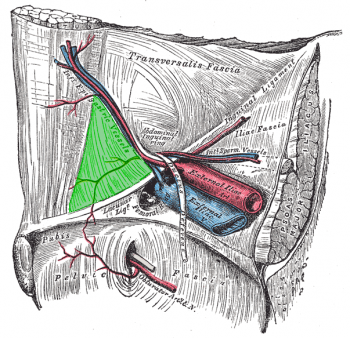 Inguinal triangle.png