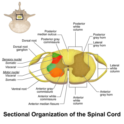 Spinal Cord Sectional Anatomy [8]