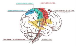 ventral corticospinal tract