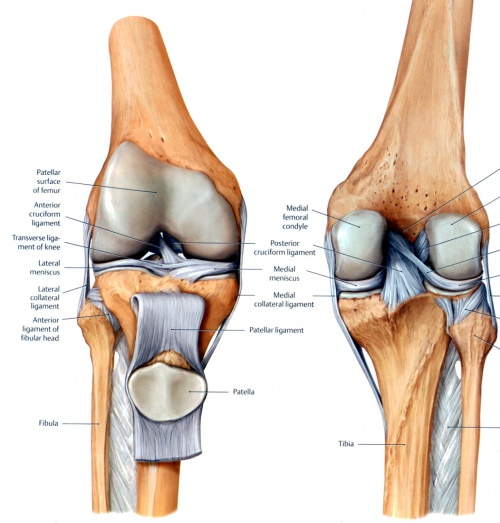 anatomy knee patellajpg