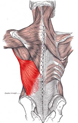 Latissimus Dorsi Muscle Physiopedia