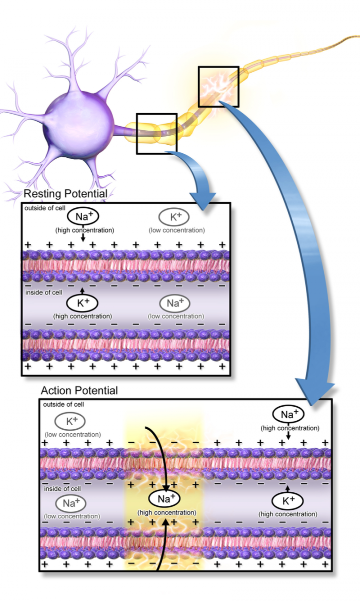 the process a neuron undergoes when going from a resting potential to an action potential to the rel Explain the process a neuron undergoes when going from a resting potential to an action potential to the more questions how neurons create electrical pulses using sodium and potassium.