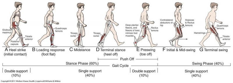 running gait phases diagram wiring diagram 2019gait in prosthetic rehabilitation physiopediagait cycle jpg