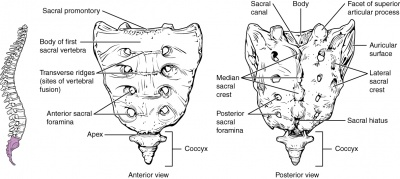 TRANSVERSAL FRACTURE OF THE SACRUM: PLACE OF IMAGING A ACHOUR, S ...