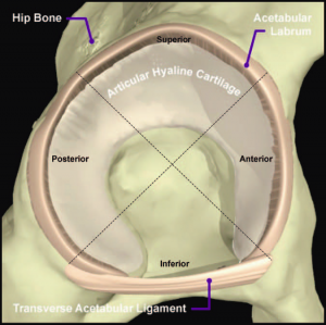 hip labral disorders physiopedia