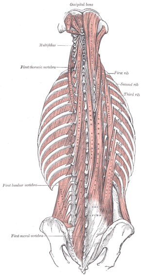 Thoracic Spine Major Muscles Physiopedia