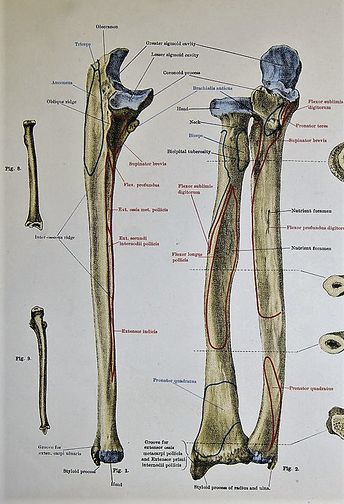 lateral view of ulna  ulna and radius annotated