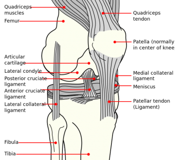 Knee ligaments.png