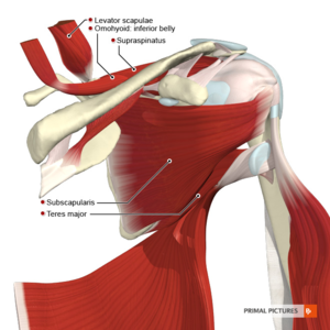 Muscles scapular region anterior aspect.png