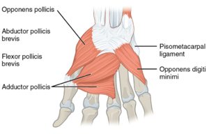 1024px-1121 Intrinsic Muscles of the Hand Deep LD.png