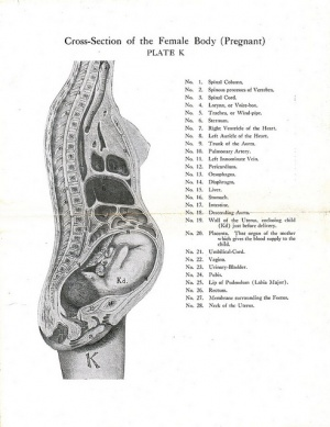 Pregnancy related pelvic pain physiopedia pregnant cross sectiong ccuart Gallery