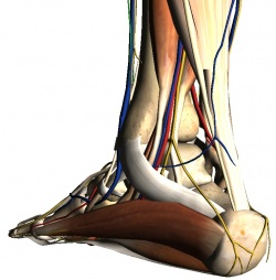 Posterior-Medial Ankle: Tarsal Tunnel (Google Body Screenshot)