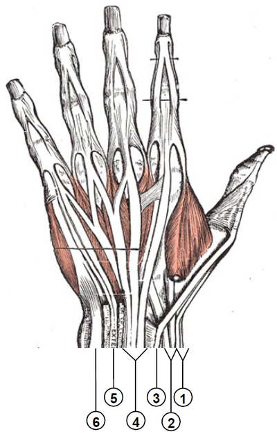Wrist extensor compartments (numbered).png