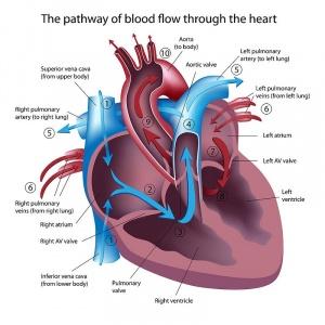 Anatomy of the Human Heart - Physiopedia