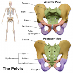 pelvis anterior and posterior, segments highlighted png