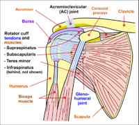Shoulder joint anatomy.png