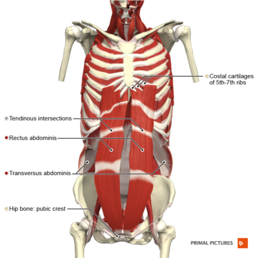 Anterior abdominal wall deep muscles Primal.png