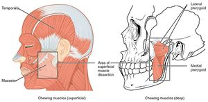 https://commons.wikimedia.org/wiki/File:1108_Muscle_that_Move_the_Lower_Jaw.jpg