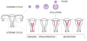 Phases of menstruation.png