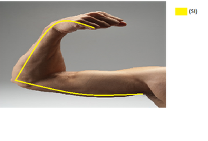 Medial Arm.png