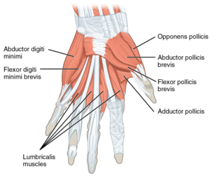 1024px-1121 Intrinsic Muscles of the Hand Superficial sin.png