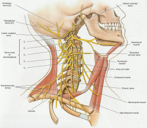 Cervical Plexus - Physiopedia